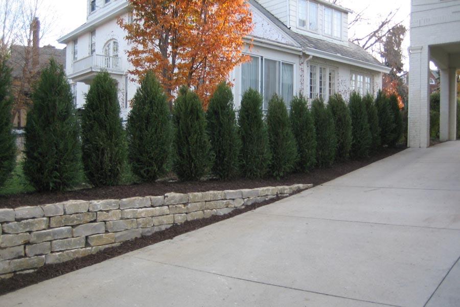 Taylor Juniper Trees